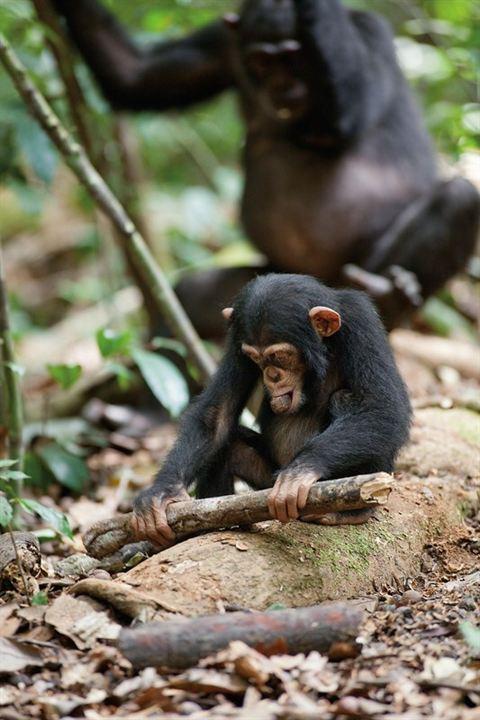Schimpansen : Bild